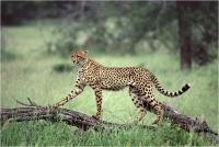 """Delli Carlo """"Cheetah style"""" (1994)"""