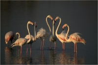 "Delli Carlo ""Flamingos group"" (1998)"