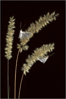 "Delli Carlo "" Farfalle notturne "" (1997)"