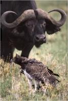 """Delli Carlo """" Martial eagle and buffalo (1994)"""