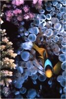 """Delli Carlo """" Pesce pagliaccio e coralli """" (2004)"""