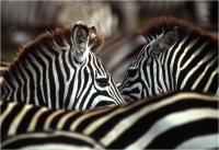 """Delli Carlo """" Ritratto di due zebre """" (2004)"""